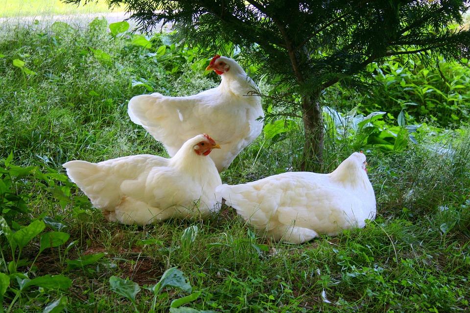 夢占いニワトリの卵