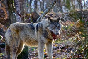 動物占い狼