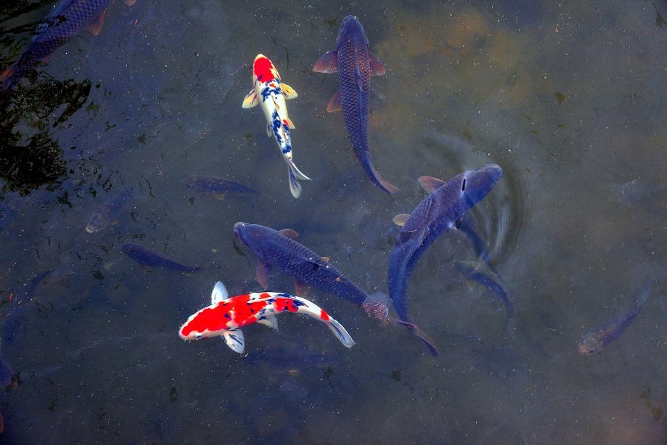 夢占い鯉の夢