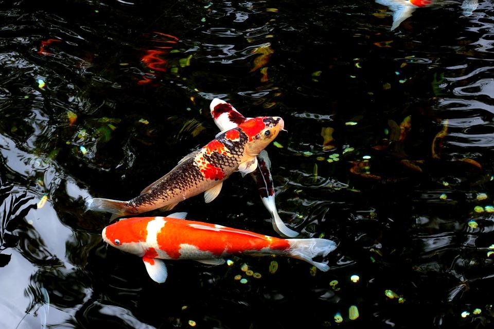 鯉の夢の意味30選