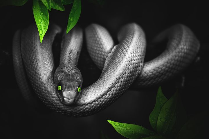 夢占い大蛇の意味2:黒の大蛇