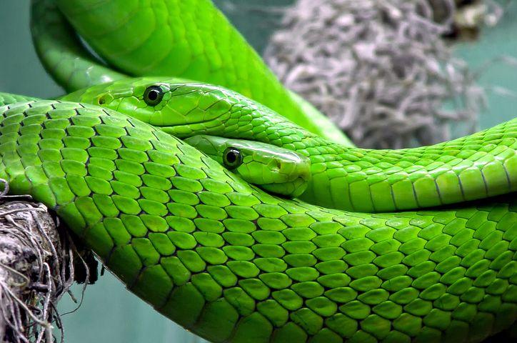夢占い大蛇の意味3:緑の大蛇