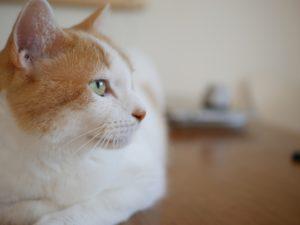 夢占い猫の基本的な意味