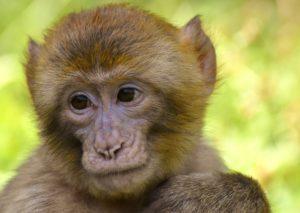 夢占い猿の意味