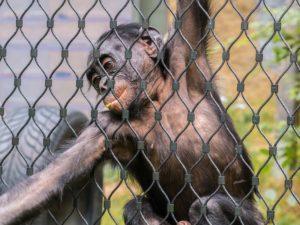 檻の中の猿の夢占い